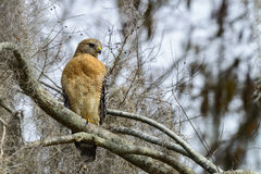 Red-shouldered hawk. Resting  on the branch Stock Images