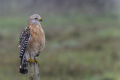Red-shouldered hawk Royalty Free Stock Photo