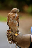 Red Shouldered Hawk Sits Perched On Person's Gloved Hand Stock Photos