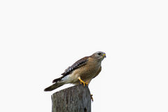 Red Shouldered Hawk. Sits on a tree stump stock photography