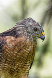 Red-Shouldered Hawk. Sitting on the banch in Florida forest stock image