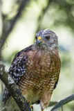 Red-Shouldered Hawk. Sitting on the banch in Florida forest royalty free stock images