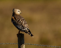 Red Shouldered Hawk Royalty Free Stock Image