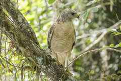 Red-shouldered Hawk Sitting on a Tree #2. Red-shouldered Hawk Sitting on a Tree Branch in the Forest #2 royalty free stock photography