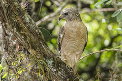 Red-shouldered Hawk Sitting on a Tree #1. Red-shouldered Hawk Sitting on a Tree Branch in the Forest #1 royalty free stock photo