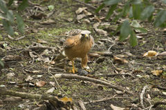 Red shouldered hawk standing with a fish in its talons. Red shouldered hawk, Buteo lineatus, on the ground with a black bullhead catfish in its talons in the royalty free stock image