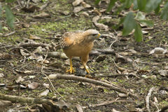 Red shouldered hawk standing with a fish in its talons. Red shouldered hawk, Buteo lineatus, on the ground with a black bullhead catfish in its talons in the royalty free stock photography