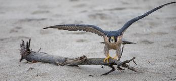 Red Shouldered Hawk stretching his wings before taking off at McGrath State Park beach in Ventura California USA. Red Shouldered Hawk stretching his wings before stock image