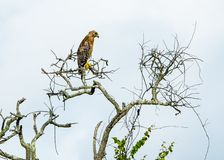 Red Shouldered Hawk Thinking in the Dead Tree royalty free stock photo