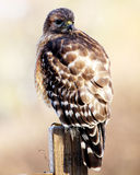 Red Shouldered Hawk. Took pictures of this baby red shouldered hawk in a friends yard Stock Photography