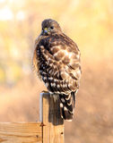 Red Shouldered Hawk. Took pictures of this baby red shouldered hawk in a friends yard Stock Photos