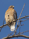 Red Shouldered Hawk in Tree. Front profile view of a Red Shouldered hawk, perched on a tree branch. Photographed on a December day in the late afternoon royalty free stock photography