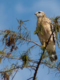 Red Shouldered Hawk on Tree Top Stock Images