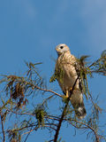 Red Shouldered HAwk on Tree Top. Red Shouldered Hawk perched on top of a tree stock photos
