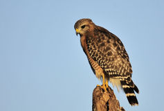 The Red Shouldered Hawk Royalty Free Stock Photos