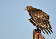 The Red Shouldered Hawk Stock Images