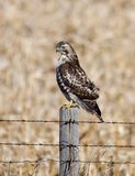 Red Shouldered Hawk 2. This is a Winter picture of a Red Shouldered Hawk perched on a fence post of a farm field along Interstate 80 located in Iowa. This royalty free stock photo