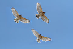 Red-shouldered Hawks Royalty Free Stock Photography
