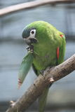 Red-shouldered macaw Royalty Free Stock Images