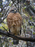 Red-shoulders Hawk Front View. A front view of a Red-shouldered Hawk perched on a tree limb at Fanning Springs state park in Florida in January 2016 stock photo