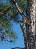 Red Shoulered Hawk perching in a pine tree. Royalty Free Stock Photo
