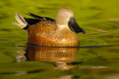 Red Shoveler (Anas platalea). Reflected in water stock photos