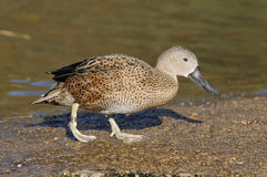 Red Shoveler Duck Stock Photography