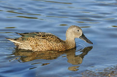 Red Shoveler Duck Royalty Free Stock Photos