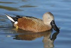 Red Shoveler Duck. Anas platalea Stock Photography