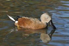Red Shoveler Duck. Anas platalea Royalty Free Stock Images