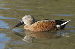 Red Shoveler Duck. Anas platalea Royalty Free Stock Photography