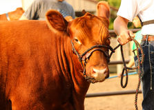 Red Show Heifer. A red heifer cow is waiting on halter to be shown at the county fair royalty free stock images