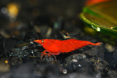 Red shrimp Royalty Free Stock Images