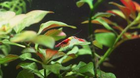 Red Shrimp. Close-up view of Freshwater Red Shrimp. Neocaridina davidi stock video