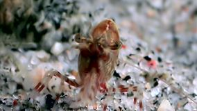 Red shrimp masked in search of food underwater seabed of White Sea Russia. Unique macro video close up. Predators of marine life on the background of pure and stock video footage