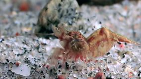 Red shrimp masked in search of food underwater seabed of White Sea Russia. Unique video close up. Predators of marine life on the background of pure and stock video