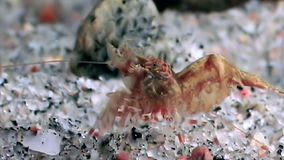 Red shrimp masked in search of food underwater seabed of White Sea Russia. Unique macro video close up. Predators of marine life on the background of pure and stock video