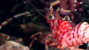 Red shrimp masked in search of food underwater seabed of White Sea Russia. stock video footage