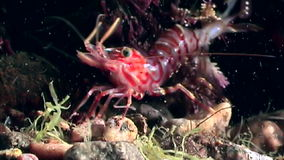 Red shrimp masked in search of food underwater seabed of White Sea Russia. stock footage