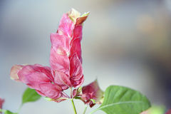 Shrimp Plant Stock Photo