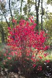 Red shrub. Royalty Free Stock Photo