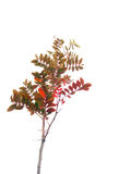 Red shrub. On a white background Stock Image