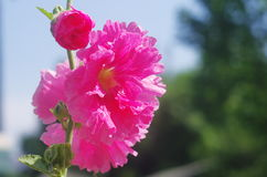 Red shrub althea flower. S are in  full bloom Stock Photo