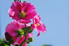 Red shrub althea flower. S are in  full bloom Stock Image
