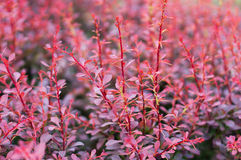 Red shrub Stock Photography