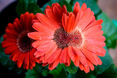 Red Siamese Daisy. Red Siamese Gerbera Daisy Blooms, Gardening anomalies, cool oddities, flowers Royalty Free Stock Photos