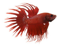 Red Siamese fighting fish Stock Photo