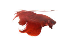 Red Siamese fighting fish Royalty Free Stock Photography