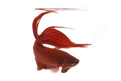 Red Siamese fighting fish Royalty Free Stock Photos