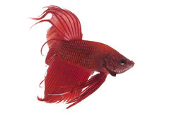 Red Siamese fighting fish Royalty Free Stock Image